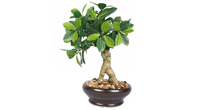 Dicra Artificial Plant (White) by Urban Ladder - Front View Design 1 - 315180
