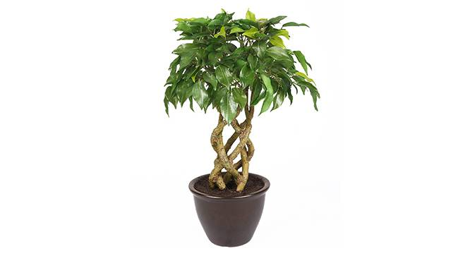Thon Artificial Plant (Green) by Urban Ladder - Front View Design 1 - 315287